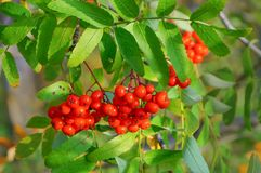 Red ashberry on a branch. stock photo