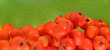 Red ashberry Stock Image