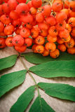 Red ashberry bunch Royalty Free Stock Photo