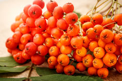 Red ashberry bunch Royalty Free Stock Image