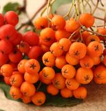 Red ashberry Stock Photography