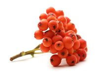 Red ashberry Stock Images