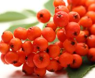 Red ashberry Royalty Free Stock Images