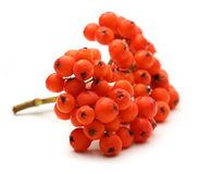 Red ashberry Stock Photos