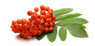 Red ashberry Royalty Free Stock Photos