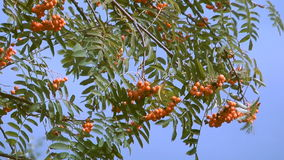 Red ashberry. stock video footage