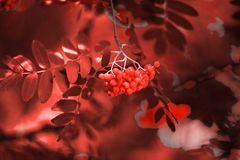Red ashberry for living coral background, phone or laptop wallpaper background stock image