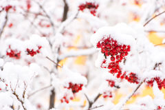 Red ashberry and white snow. Red ashberry branch covered with snow in winter at christmas or new year holidays isolated on white background, copy space Stock Photos