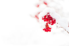 Red ashberry and white snow. Red ashberry branch covered with snow in winter at christmas or new year holidays isolated on white background, copy space Royalty Free Stock Photos