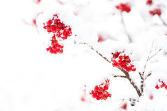 Red ashberry and white snow. Red ashberry branch covered with snow in winter at christmas or new year holidays isolated on white background, copy space Stock Images
