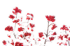 Red ashberry and white snow. Red ashberry branch covered with snow in winter at christmas or new year holidays isolated on white background, copy space Royalty Free Stock Images
