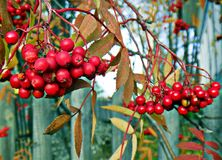 A mountain ash red royalty free stock image