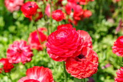 Red asian buttercup Royalty Free Stock Image