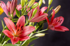 Red asian lily Stock Photography