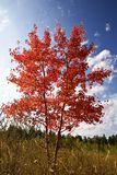 Red aspen Royalty Free Stock Photo