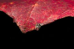 Red aspen leaf isolated on a black background. Macro Stock Photos