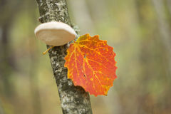 Red aspen leaf on a tree Royalty Free Stock Image