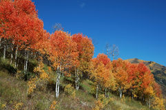 Red Aspens on McClure Pass. Aspens with unusual red leaves in autumn on McClure Pass, Colorado Royalty Free Stock Photos