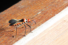 Red Assasin Bug Royalty Free Stock Photos