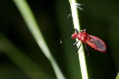 Red assassin bug Stock Photo
