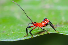 Red Assassin bug nymph Royalty Free Stock Photos