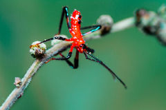 Red Assassin bug nymph Stock Photo