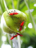Red assassin bug Royalty Free Stock Images