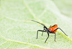 Red assassin insect on leaf Stock Photo