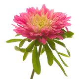 Red aster Royalty Free Stock Photo
