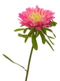 Red aster Royalty Free Stock Photography