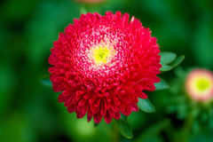 Red Aster Royalty Free Stock Images