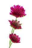 Red aster Royalty Free Stock Image
