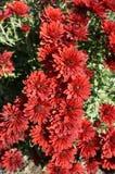 Red aster callistephus flowers on a sunny day Stock Photos