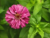 Red aster close-up Stock Photography