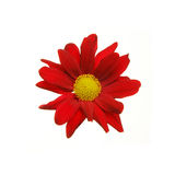 Red Aster flower. With a yellow center isolated on white royalty free stock photography