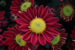 Red aster flower. Blooms Royalty Free Stock Photo