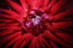 Red Aster flower on a dark background close-up. symbolize the ac. Curacy, beauty and modesty.The petals of a flower are like the sharp ends of a star stock image
