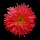 Red aster flower isolated on black background with clipping path.  Closeup no shadows. Stock Photography