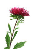 Red aster flower Royalty Free Stock Image