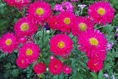 Red aster in the flowerbed Stock Photos