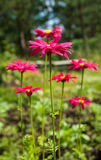 Red aster. Flowers in sunny day on natural background Royalty Free Stock Image