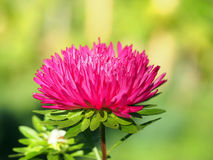 Red aster in a garden. Royalty Free Stock Images