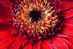 Red aster gerbera macro Stock Photo