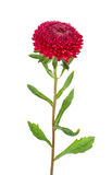 Red Aster Isolated Stock Image