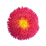 Red aster isolated on white background Stock Photo