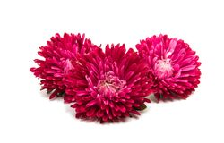Red aster Stock Photo