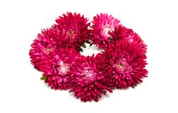 Red aster Stock Image