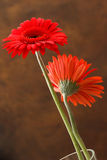 Red asters Stock Images