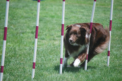 Red Aussie Weaving. Purebred red australian shepherd navigates the weave poles on a dog agility course Stock Image