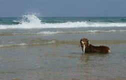 Red Australian Shepherd in water. Charles Clore Park. Tel Aviv Royalty Free Stock Image
